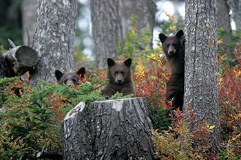 3 brown bears hiding in the woods
