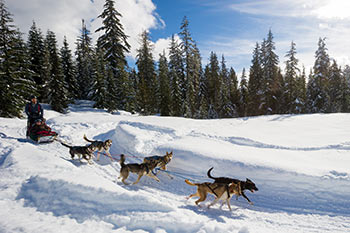 dog sled team on trail, sunny day with trees in background